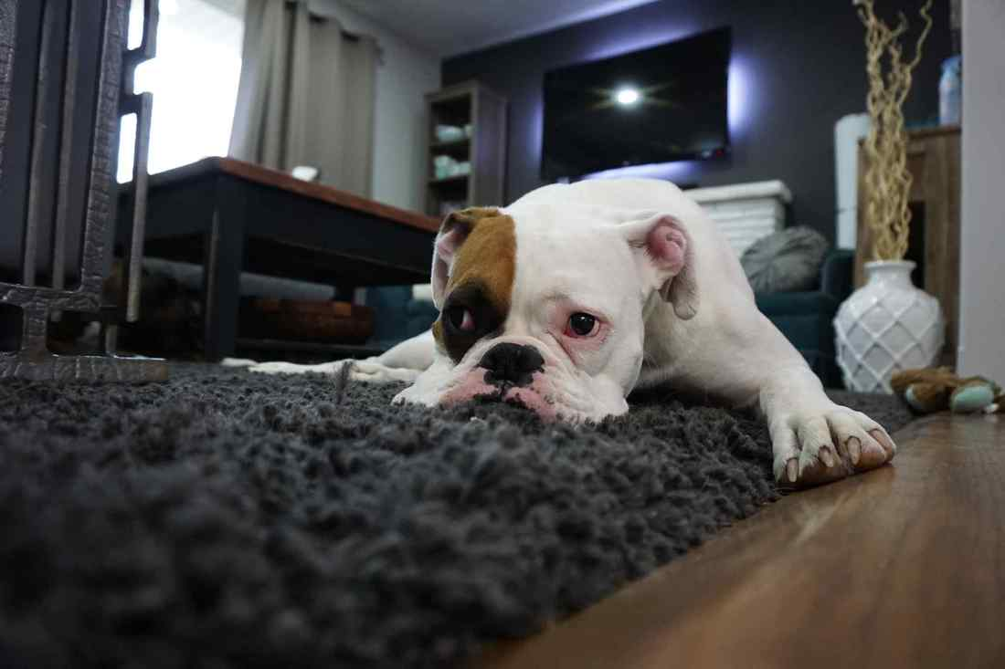 Black and White Bull Dog Sitting on Carpet